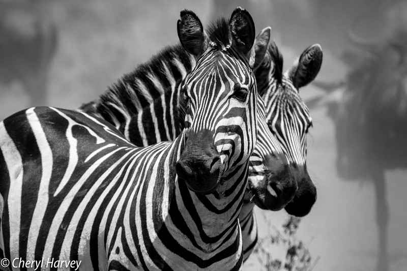 I loved the zebras and could have spent hours photographing the infinite variety of their stripes. These three posed nicely for the camera. And the wildebeest were always close by.