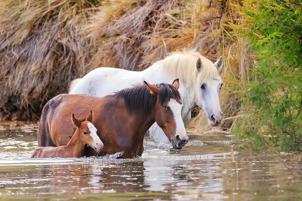 Salt River Wild Horses #SRWHMG #Saltriver #wildlife #Wildhorse #Canonusa #canon1DX #visitArizona #ABC15