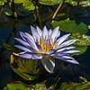 Lotus Flower at The Japanese Garden.