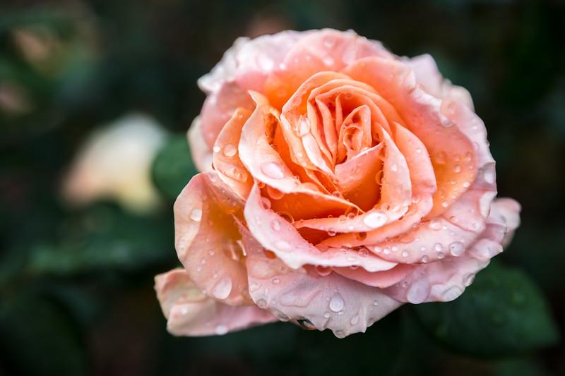 Rose at The Huntington