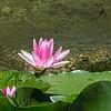 Lotus flower  in Chinese Garden