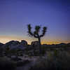 Joshua Tree with Jupiter below it's left branch and Saturn above the branch.
