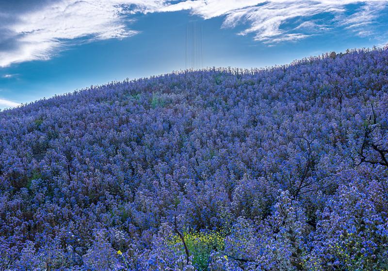 Fields of purple.