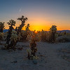 The risen sun shines through the cactus, illuminating it with an orange glow.