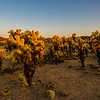 The Cholla Cactus reflect the golden glow of the sun.