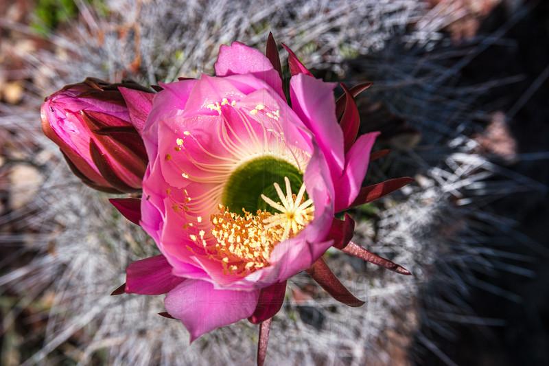 Cactus flower.