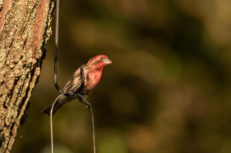Finch ~ Haemorhous purpureus ~ Huron River Watershed