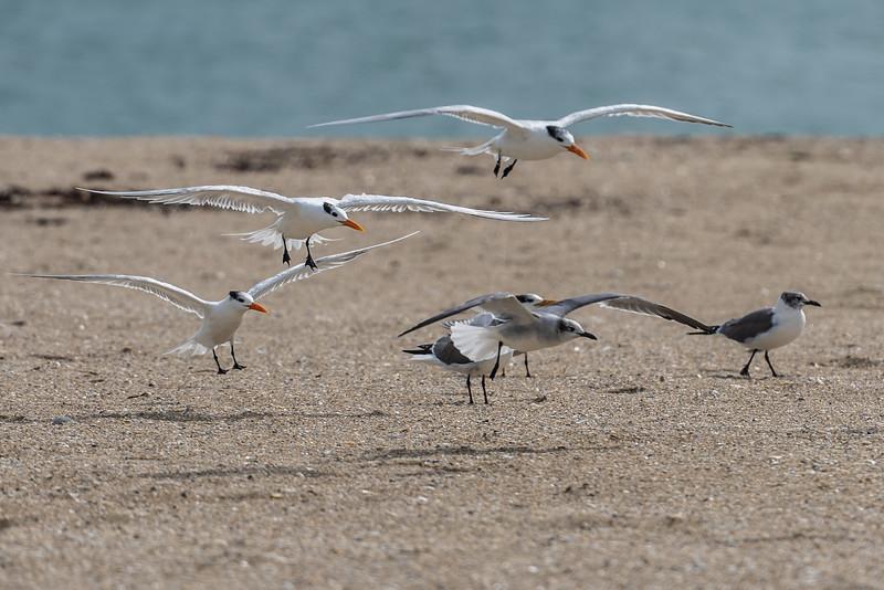 Royal Terns (with Laughing Gulls) ~ Thalasseus maximus ~ Port St. Lucie, Florida