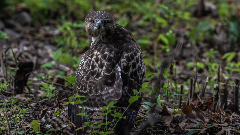 Red-tailed Hawk ~ Buteo jamaicensis