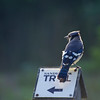pointing the way ~ Blue Jay perching ~ Cyanocitta crostata ~ Lake Huron
