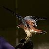 American Kestrel ~ Falco sparverius ~ Great Lakes and Watershed