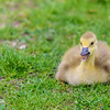 Lesson for a Canada Gosling ~ Branta canadensis ~ Huron River and Watershed