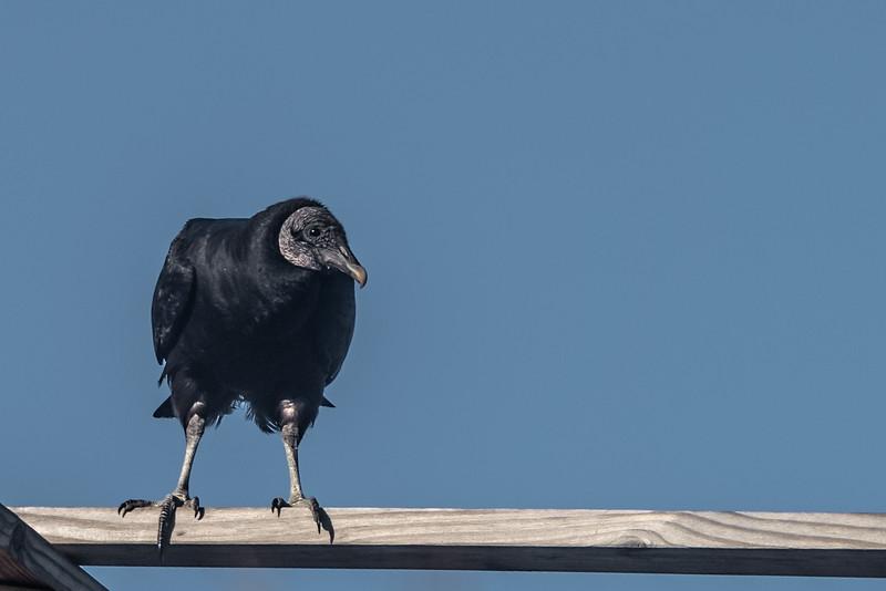 Black Vulture ~ Coragyps atratus ~ Canaveral National Seashore, Florida