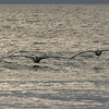 Brown Pelicans at Dusk ~ Pelecanus occidentalis ~ Southern Outer Banks
