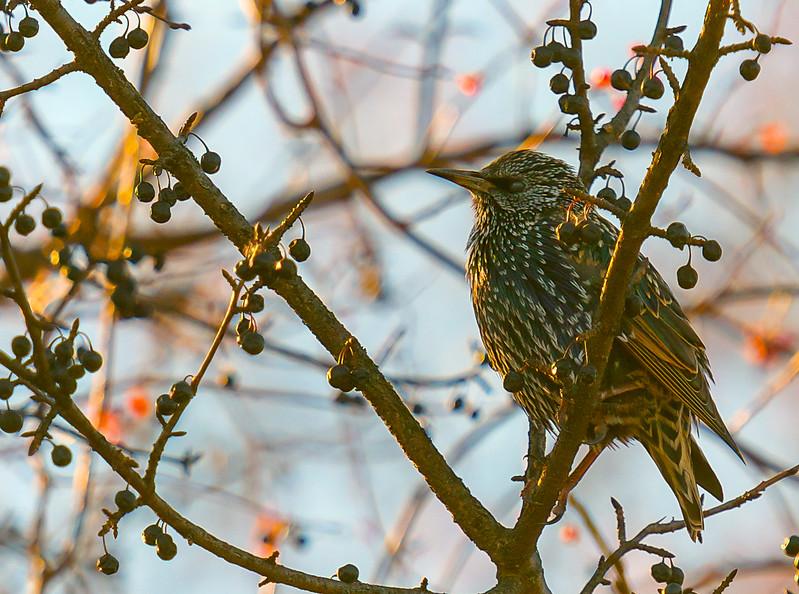 European Starling, winter/non-breeding adult ~ Sturnus vulgaris ~ Huron River