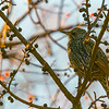 European Starling, winter/non-breeding adult ~ Sturnus vulgaris ~ Huron River