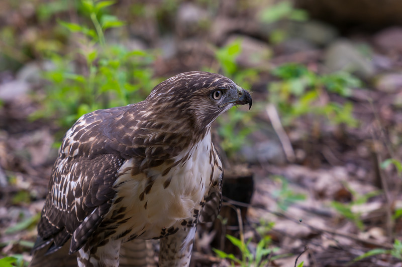 Portrait of a Red-Tailed Hawk ~ Buteo jamaicensis ~ Huron River Watershed, Michigan