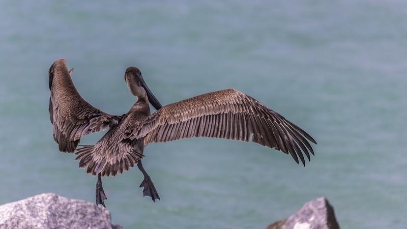 Leap of Faith ~ Brown Pelican ~ Port St. Lucie, Florida ~ Pelecanus occidentalis