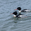 Red-breasted Merganser ~ Mergus serrator ~ Southern Outer Banks