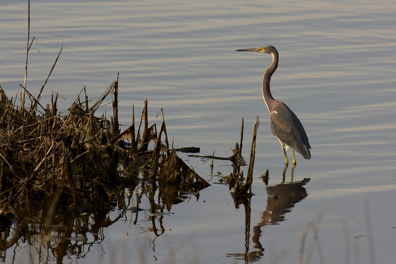 Tricolored Heron (formerly, Louisiana Heron) ~ Egretta tricolor ~ Cedar Island National Wildlife Refuge, Outer Banks