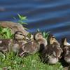 Mallard ducklings in a row ~ Anas platyrhynchos ~ Huron River, Michigan