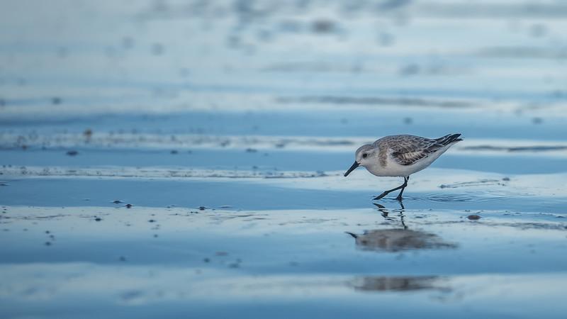 Sanderling ~ Calidris alba ~ New Smyrna Beach, Florida