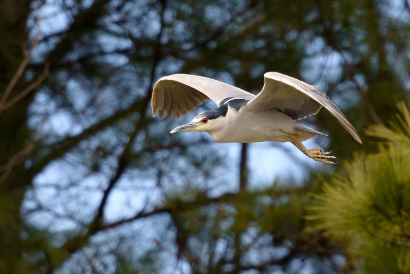 Black-Crowned Night-Heron ~ Nycticorax nycticorax ~ Southern Outer Banks