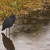 Little Blue Heron ~ Egretta caerulea ~ Port St. Lucie, Florida