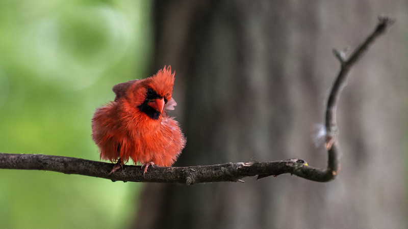 Fluffy Northern Cardinal ~ Cardinalis cardinalis ~ Huron River and Watershed, Michigan