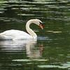 Mute Swan and the River ~ Cygnus olor ~ Huron River, Michigan
