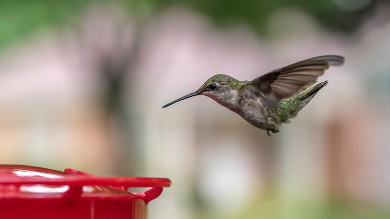 One Last Sip Just Before the Storm ~ Ruby-throated Hummingbird, Female ~ Archilochus colubris ~ Huron River and Watershed, Michigan