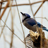 Blue Jay by the river ~ Cyanocitta cristata ~ Huron River Watershed