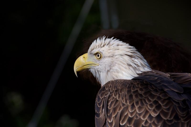 Bald Eagle ~ Haliaeetus leucocephalus ~ Great Lakes and Watershed