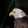 Bald Eagle ~ Haliaeetus leucocephalus ~ Great Lakes and Watershed