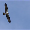 Osprey ~ Pandion haliaetus ~ Croatan National Forest, North Carolina