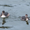Horned Grebes ~ Podiceps auritus ~ Southern Outer Banks