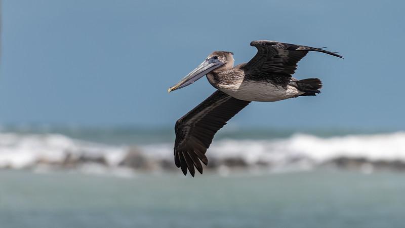 Brown Pelican, Juvenile ~ Port St. Lucie, Florida ~ Pelecanus occidentalis