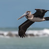 Brown Pelican, Juvenile ~ Port St. Lucie, Florida ~ Pelecanus occidentalis