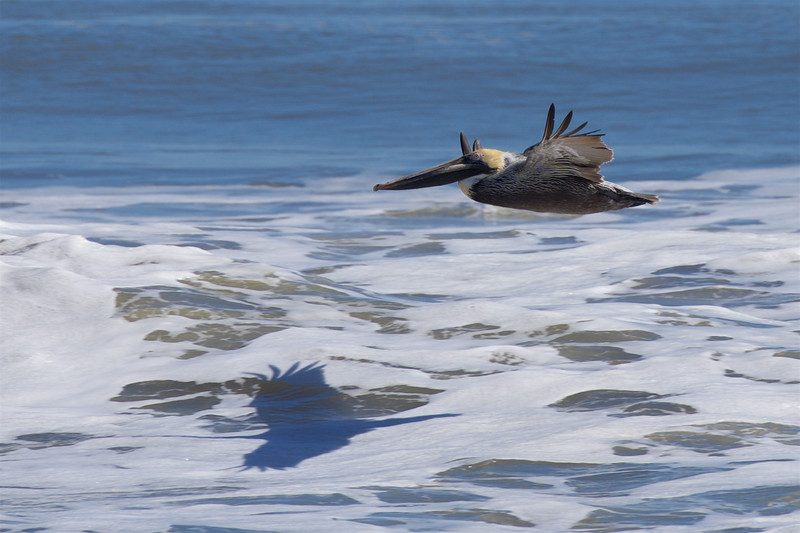 Song of the Brown Pelican ~ Pelecanus occidentalis ~ Southern Outer Banks