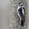 Downy Woodpecker ~ Dryobates pubescens ~ Huron River and Watershed