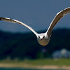 Ring-billed Gull ~ Larus delawarensis ~ Lake Michigan