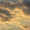 Bird Flying High ~ Eastern Seaboard