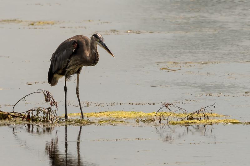 Great Blue Heron ~ Ardea herodias ~ Pointe Mouillee, Lake Erie