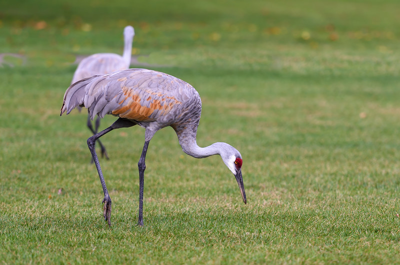 Sandhill Crane ~ Antigone canadensis ~ Huron River Watershed, Michigan