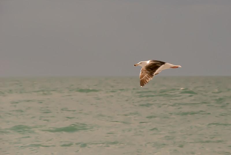 Ring-billed Gull ~ Larus delawarensis Larus delawarensis ~ Southern Outer Banks