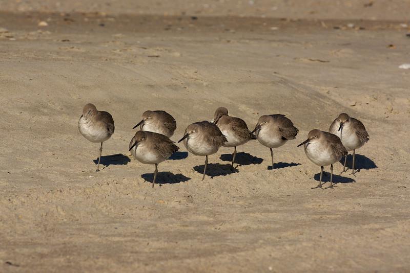 sanderlings snoozing ~ Calidris alba  ~ Southern Outer Banks