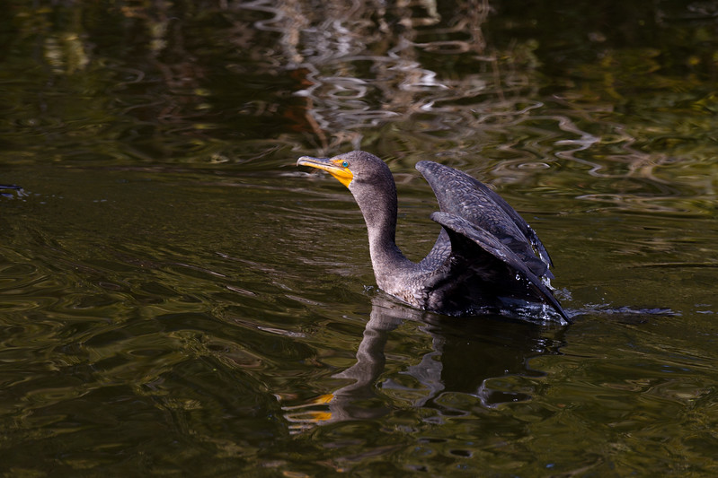 Double-crested Cormorant ~ Phalacrocorax auritus ~ Pine Knoll Waterway, Southern Outer Banks