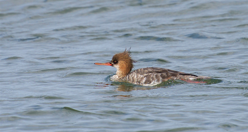 Red-breasted Merganser, Female ~ Mergus serrator ~ Southern Outer Banks