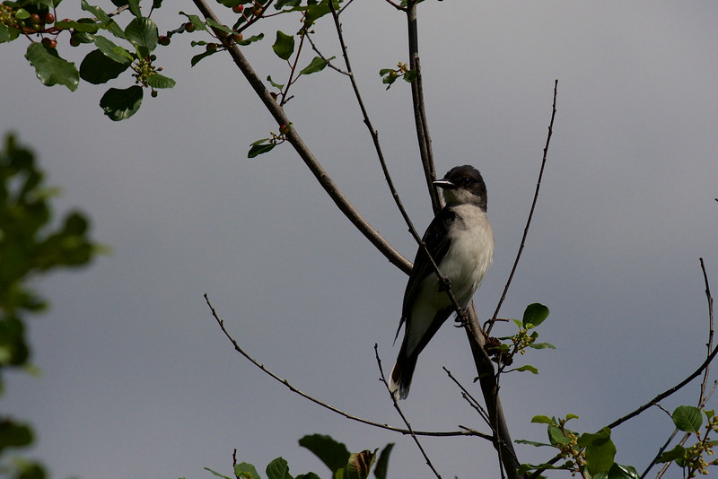 Eastern Kingbird ~ Tyrannus tyrannus ~ Huron River Watershed, Michigan
