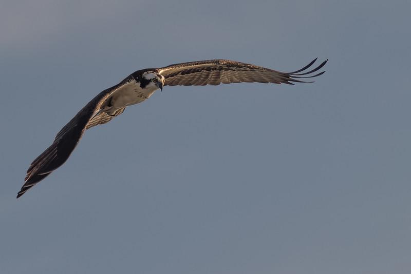 Osprey ~ Pandion haliaetus ~ Canaveral National Seashore, Florida